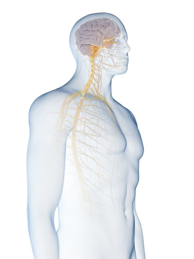 Hersenen en zenuwstelsel royalty-vrije illustratie