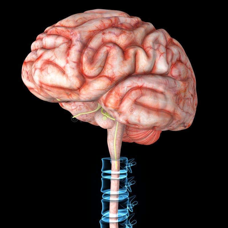 Hersenen met backbone royalty-vrije illustratie