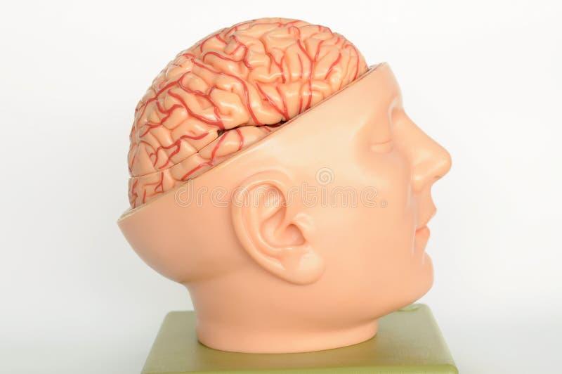 Hersenen van menselijk model royalty-vrije stock foto's
