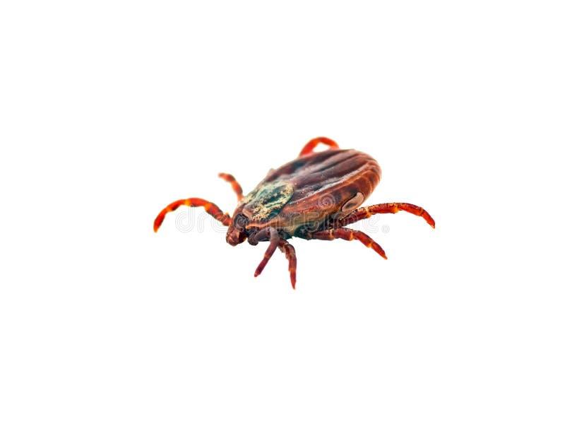 Hersenontsteking of Lyme Virus Besmet Tick Insect Isolated op Wit royalty-vrije stock foto's