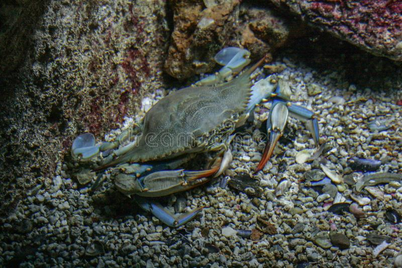 09 23 2008, Hersonissos, Creta, Grécia caranguejo colorido que espreita na parte inferior Animais do mar e do oceano Vida marinha fotografia de stock