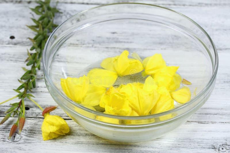 Herstellung der Bachblütentherapie, Oenothera biennis, Abendstern lizenzfreies stockbild