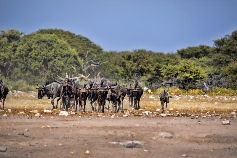 Hert Blue Wildebeest Connochaetes taurinus, goes to waterhole, Etosha National Park, Namibia. The Hert Blue Wildebeest Connochaetes taurinus, goes to waterhole royalty free stock image