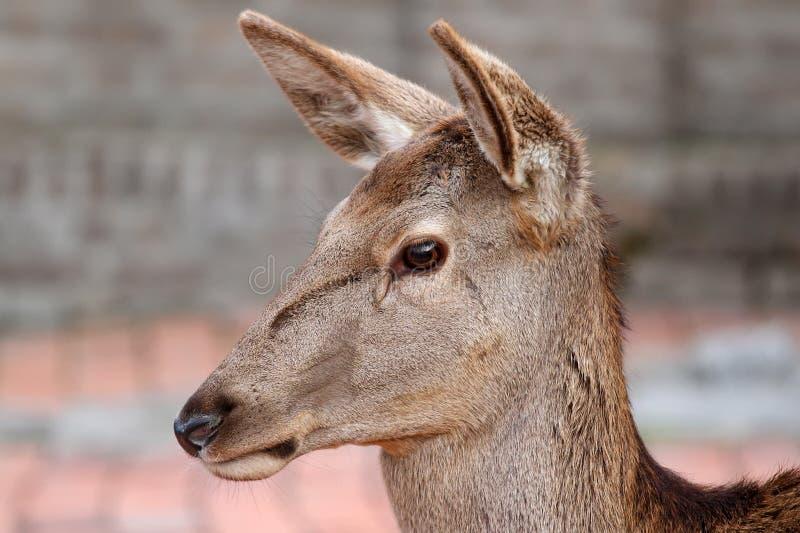 Download Herten stock foto. Afbeelding bestaande uit dier, looking - 29505248