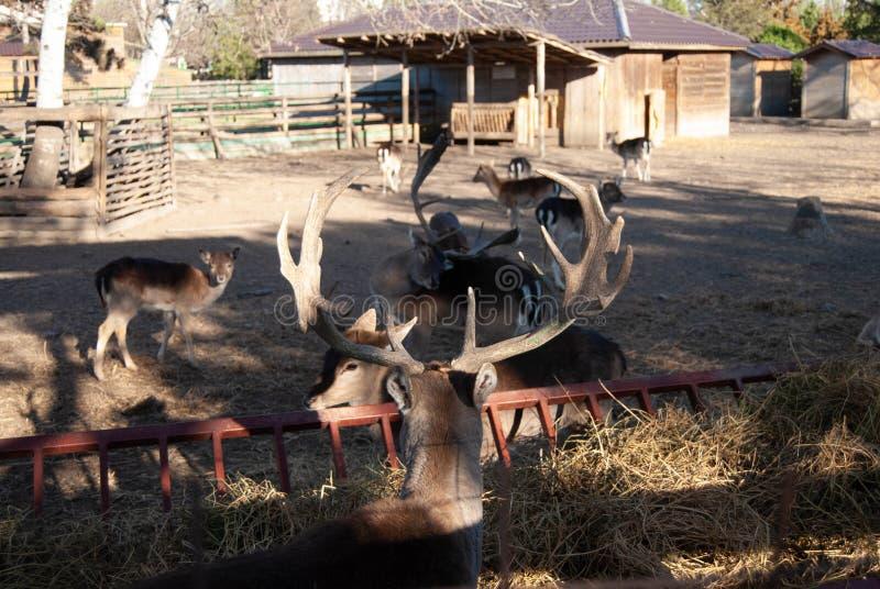 Herten bij dierentuin stock afbeeldingen