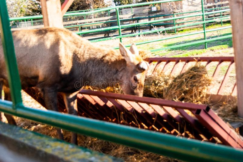 Herten bij dierentuin royalty-vrije stock fotografie