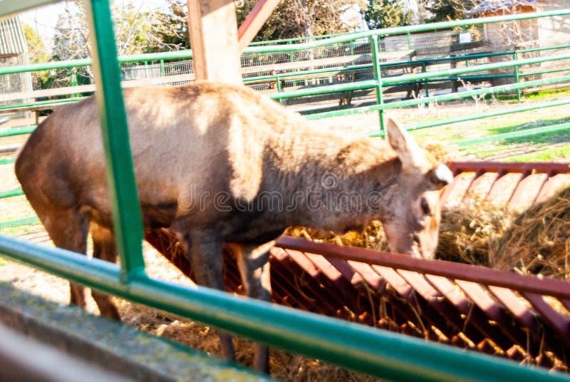 Herten bij dierentuin royalty-vrije stock afbeeldingen