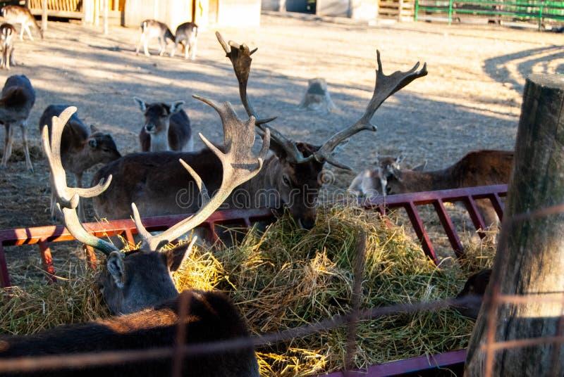 Herten bij dierentuin stock foto