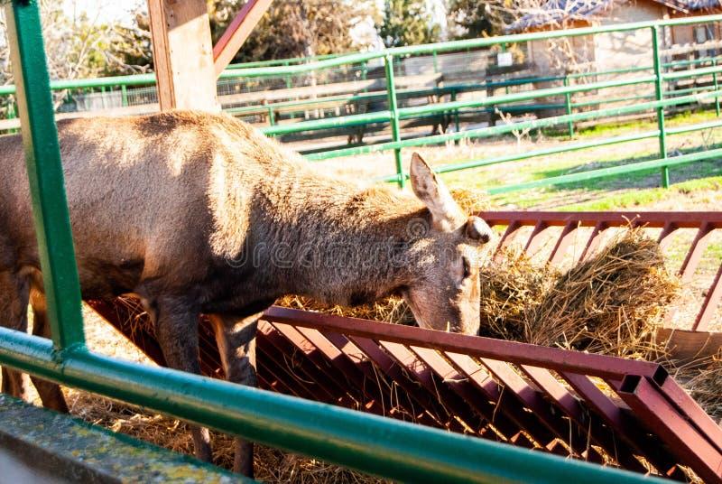 Herten bij dierentuin stock fotografie