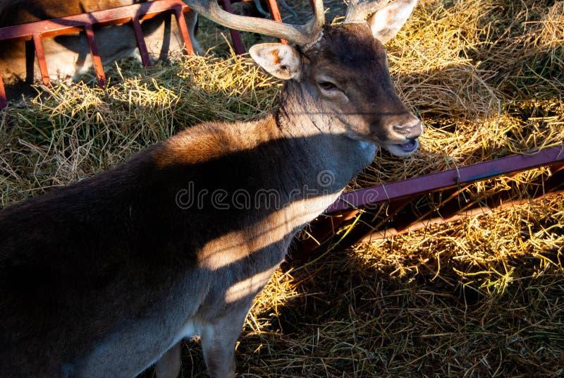 Herten bij dierentuin royalty-vrije stock foto's