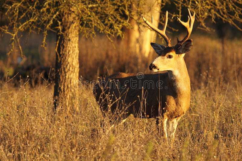 Herten Buck Looking Back stock foto's