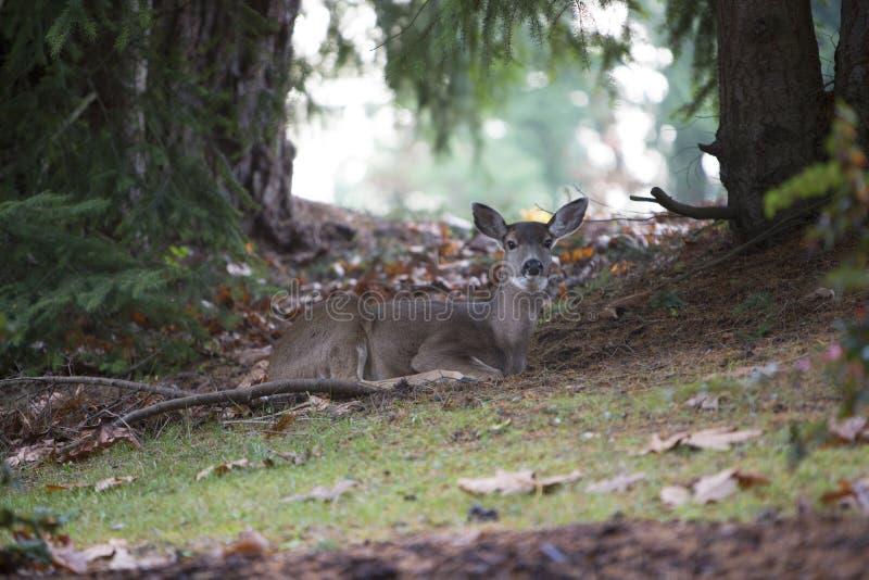 Herten die in bos rusten stock foto's