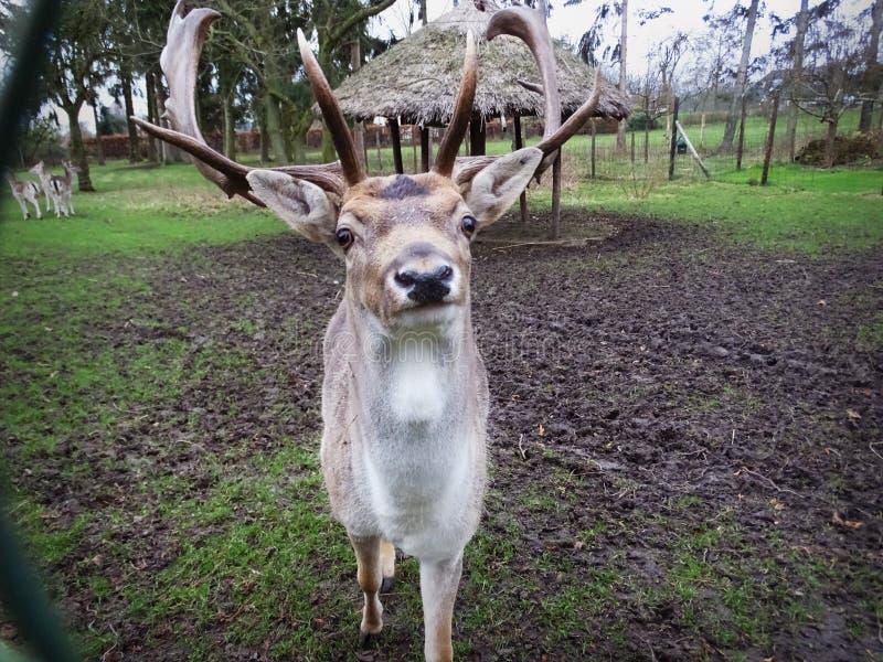 Herten die de Camera bekijken royalty-vrije stock afbeeldingen