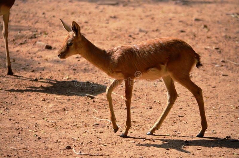 Herten die in de wildernis, Tal Chapar, Churu, Rajasthan & x28 roteren; India& x29; stock foto's