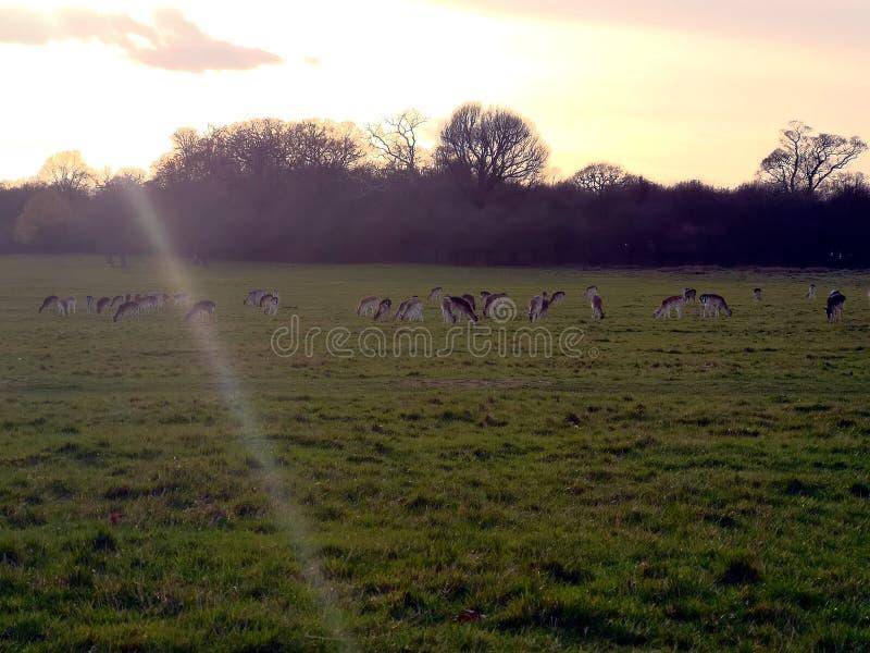 Herten die in de zonsondergang in Richmond Park, Londen waarnemen stock foto's