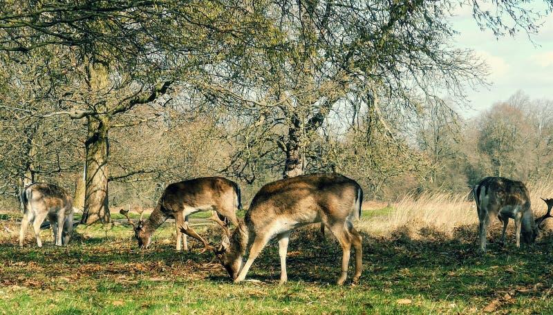 Herten die in de zonsondergang in Richmond Park, Londen waarnemen stock foto