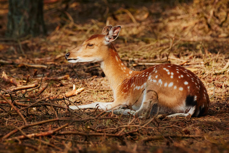 Herten die in een zonnige vlek in een donker bos liggen stock foto's