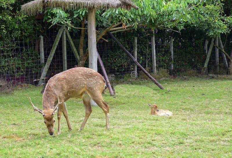 Herten die gras met een neary kind eten royalty-vrije stock foto's