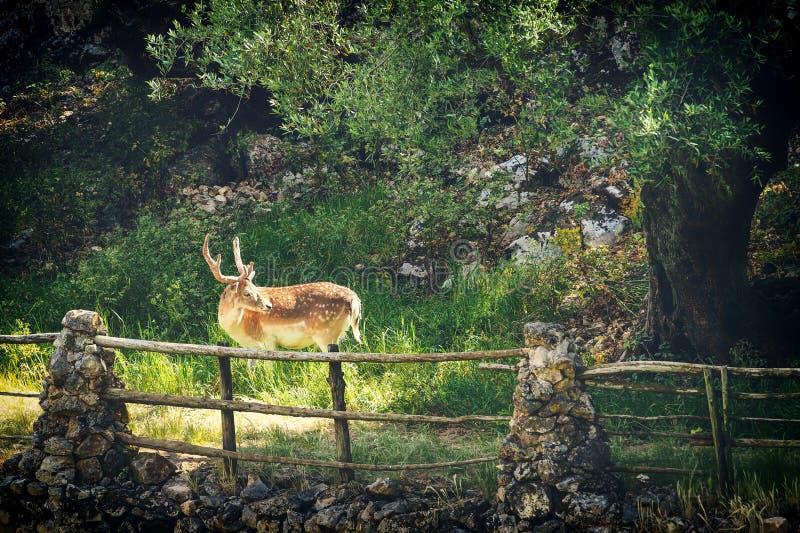 Herten die gras in wildernis eten royalty-vrije stock fotografie