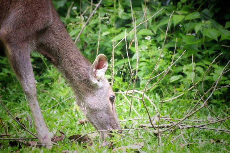 Herten die het gras in het khaoyai nationale park eten, Thailand royalty-vrije stock afbeelding