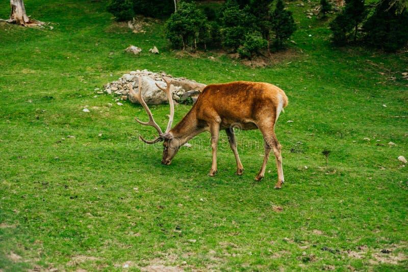 Herten die het gras weiden stock fotografie