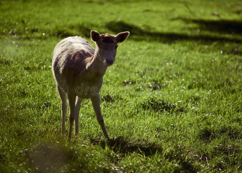 Herten die in het zonlicht zonnebaden stock foto