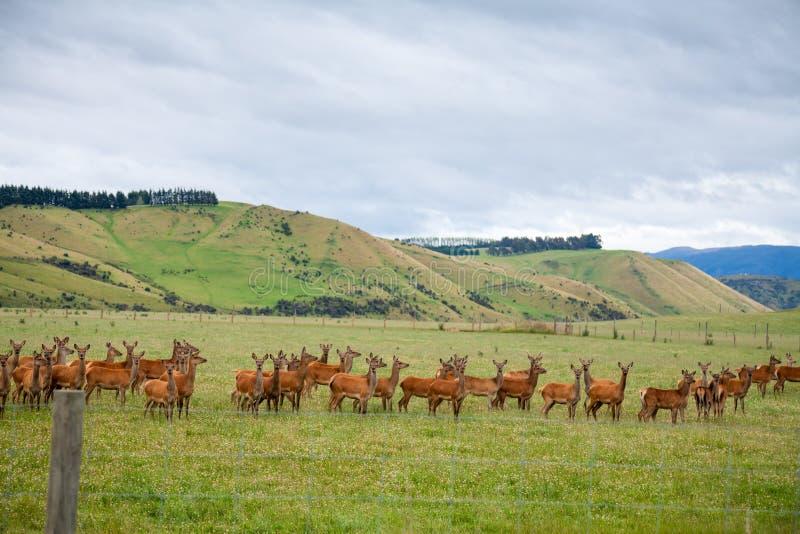 Herten die in Nieuw Zeeland bewerken royalty-vrije stock foto's