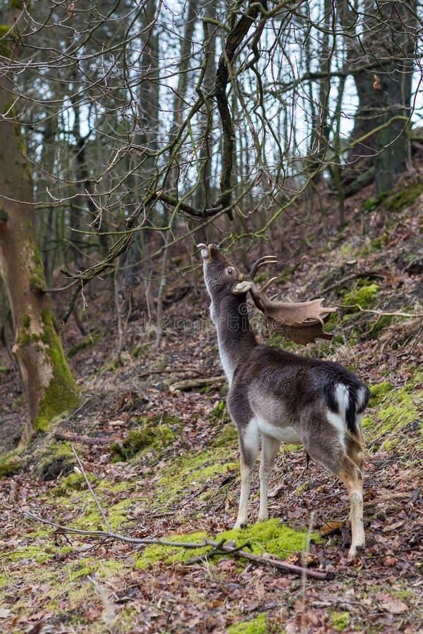 Herten die tot bereik hogere takken bereiken in een bos royalty-vrije stock afbeeldingen