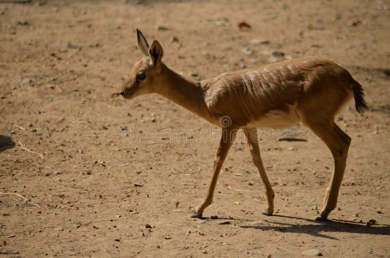 Herten die in wildernis -2, Tal Chapar, Churu, Rajasthan & x28 roteren; India& x29; royalty-vrije stock afbeeldingen
