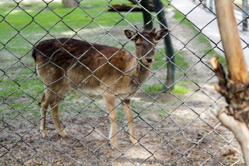 Herten, dierentuin, kooi, achtergrond, dier, erachter, aard, natuurlijke gevangenschap, leuk, park, wildernis, het droevige wild, royalty-vrije stock afbeeldingen