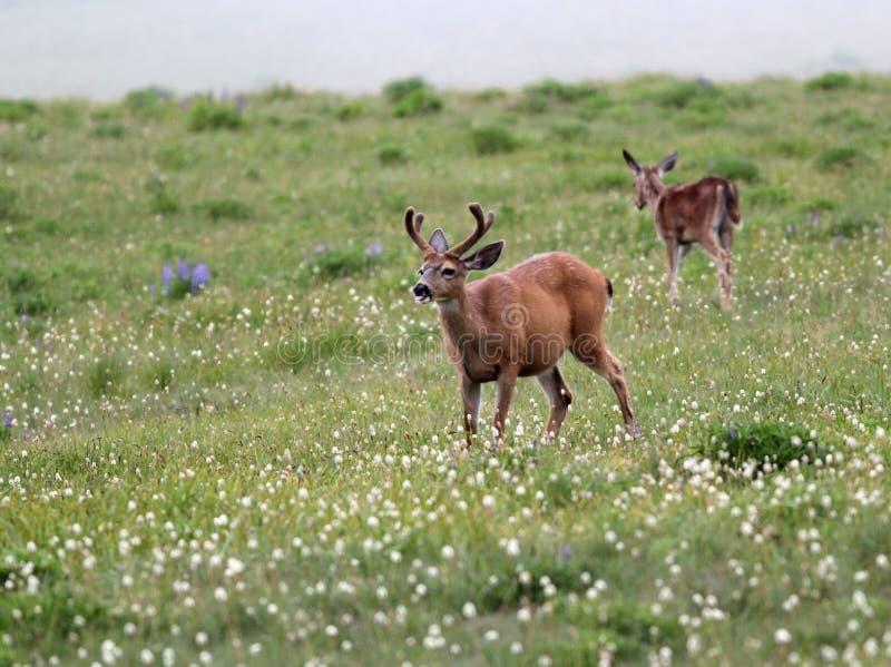 Herten in een Alpiene Weide royalty-vrije stock foto