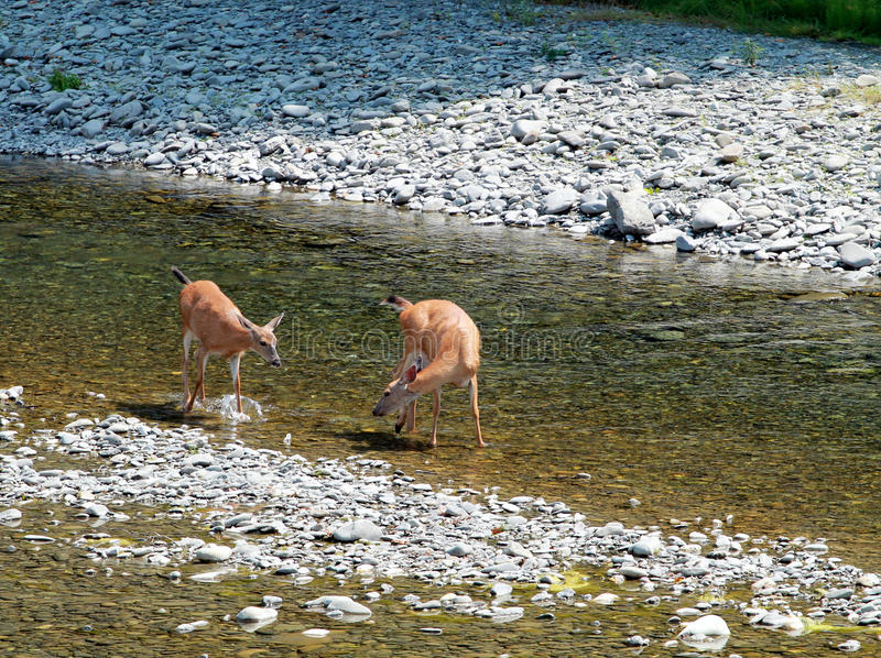 Herten in een Rivier royalty-vrije stock fotografie