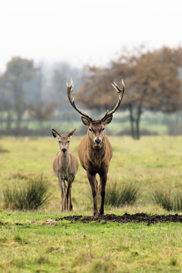Herten en damhinde stock afbeelding