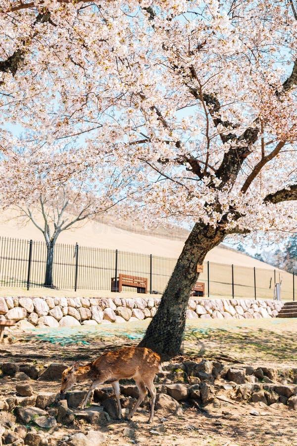 Herten en kersenbloesem bij Wakakusa-berg in Nara, Japan royalty-vrije stock afbeelding
