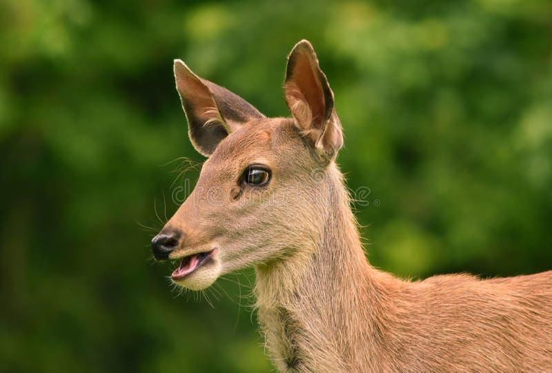 Herten fawn bij het Nationale Park van Khao Yai, Thailand royalty-vrije stock afbeeldingen