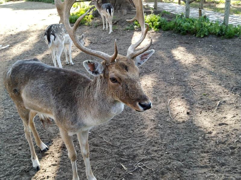 Herten in gevangenschap in Ayamonte dierentuin stock foto's