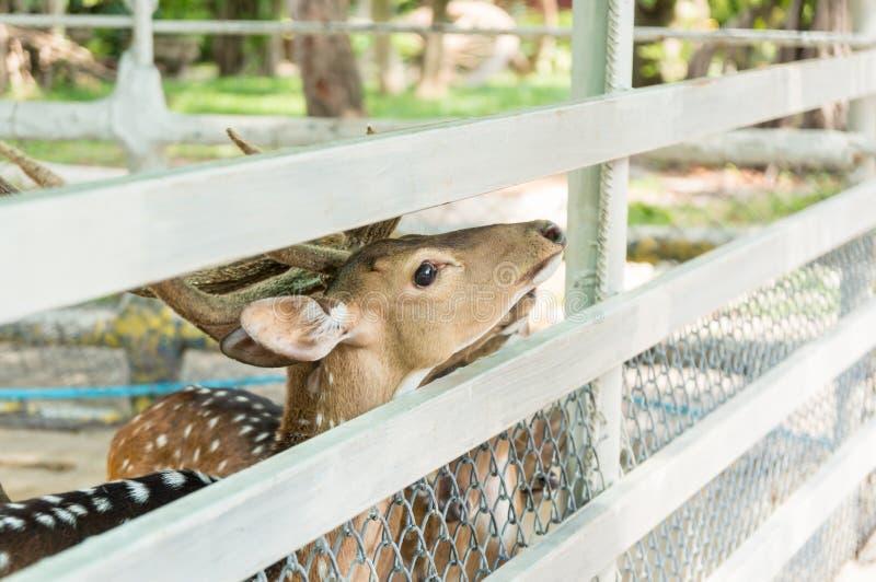 Herten in gevangenschap in dierentuin royalty-vrije stock foto's