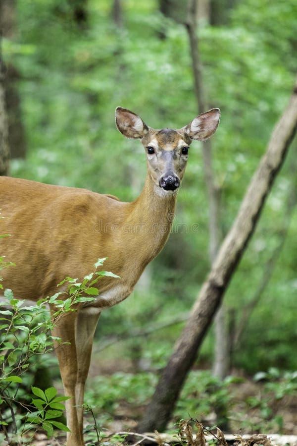 Herten in het bos stock afbeeldingen