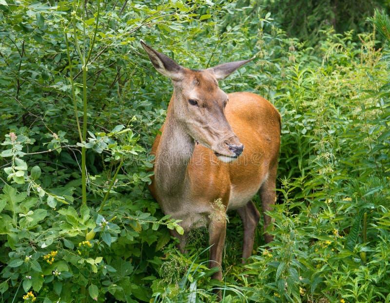 Herten in het bos royalty-vrije stock afbeelding