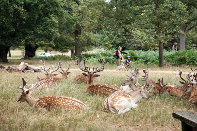 Herten in het Park van Richmond stock fotografie