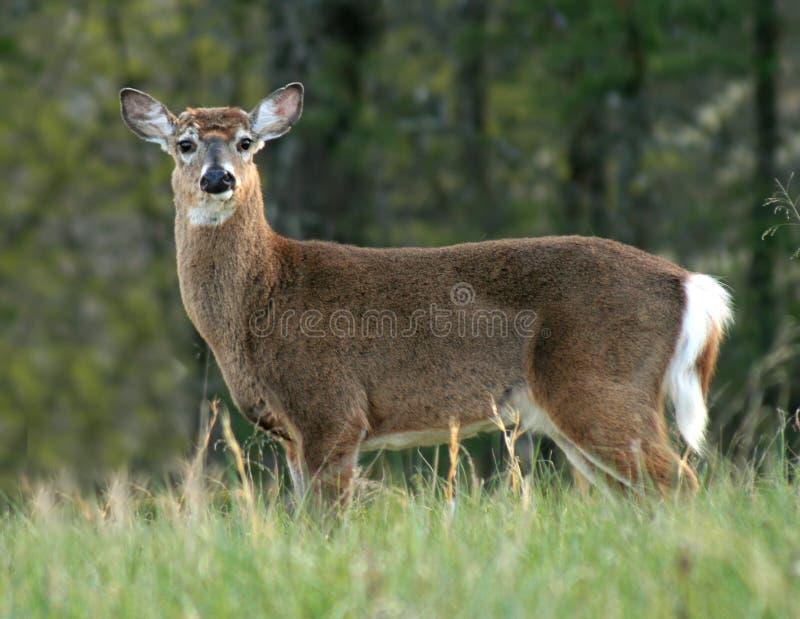 Herten in Inham Cades royalty-vrije stock afbeeldingen