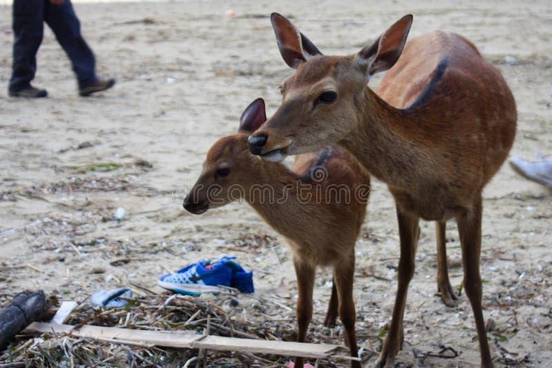 Herten in Japan stock afbeeldingen