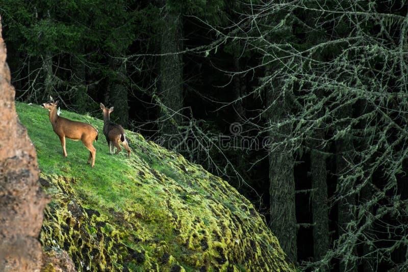 Herten op Cliffside stock afbeeldingen