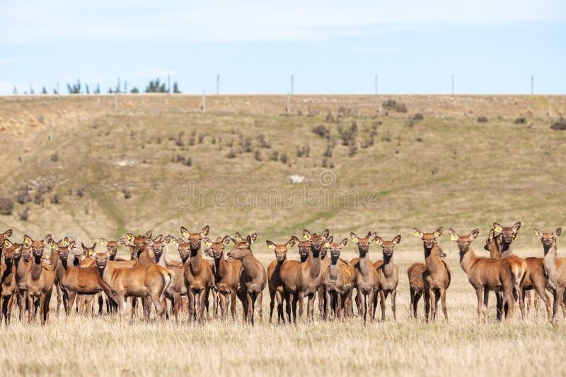 Herten op een landbouwbedrijf royalty-vrije stock afbeeldingen
