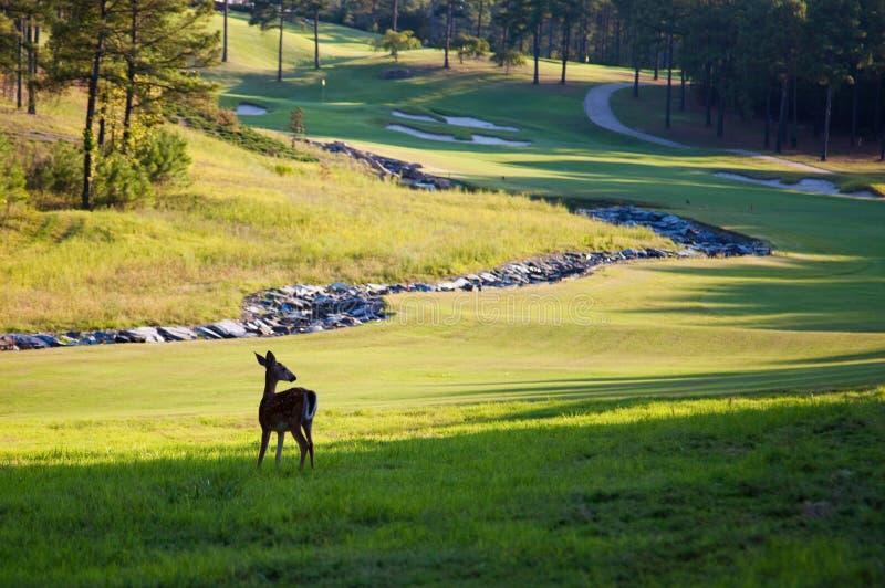 Herten op golfcursus royalty-vrije stock afbeeldingen