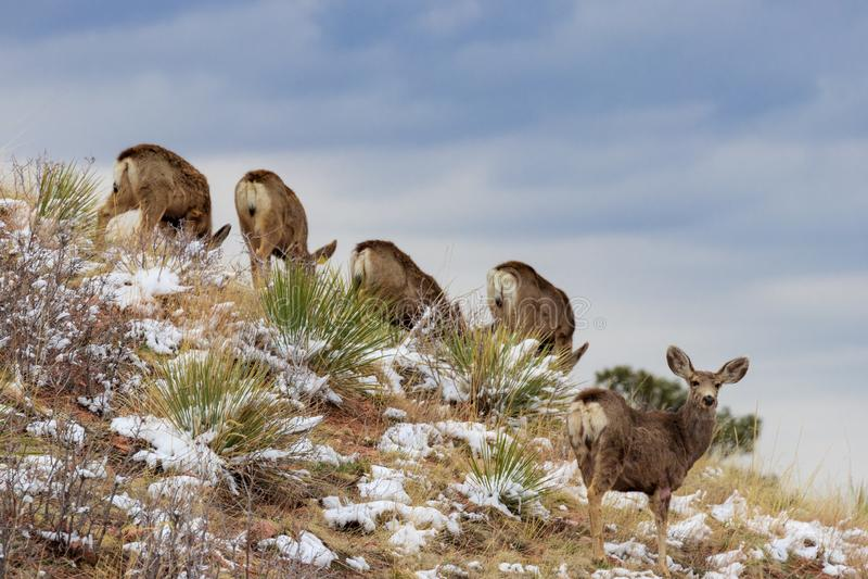 Herten op Helling met blauwe hemel stock fotografie
