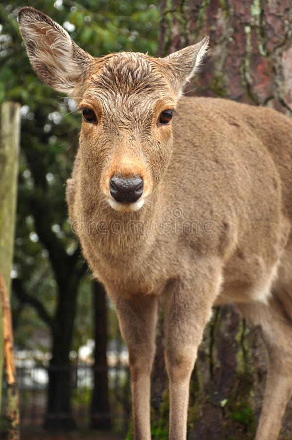 Herten van Nara Park stock foto's