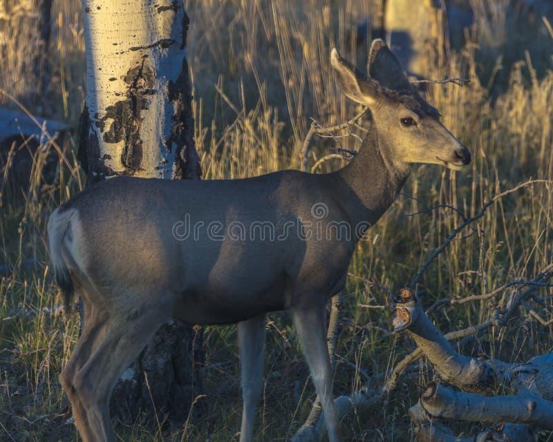 Herten in wilde Hastings Mesa, Colorado royalty-vrije stock afbeelding