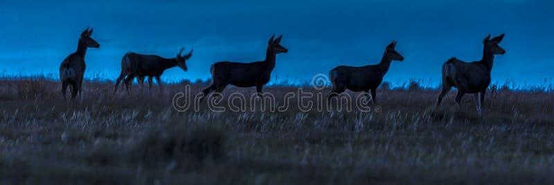 Herten in wilde Hastings Mesa, Colorado stock afbeelding