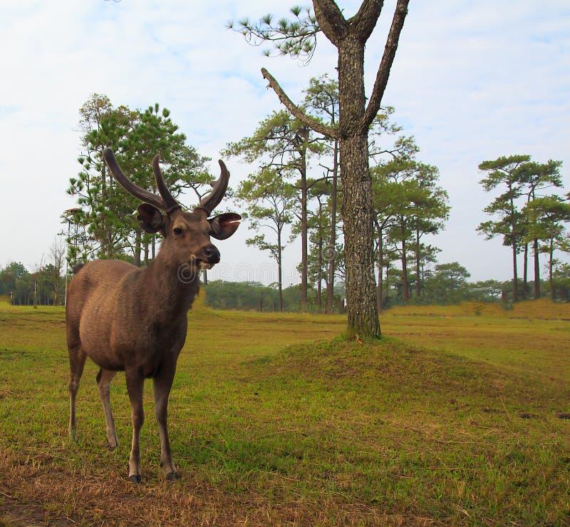 hertenbok royalty-vrije stock fotografie